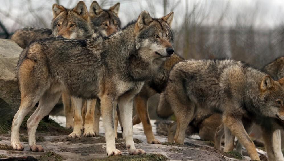 Investigadores de la UCAV crean una metodología de prevención de los ataques del lobo ibérico en Ávila
